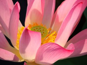 lotus flowers emerge from the dirty and murky bottom of a pond, and yet remain untouched by all the dirt and mud of the environment, in which it grows. This unique quality of the flower is believed to represent the pure spirit.