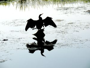 As above, so below..Australian Darter drying out..