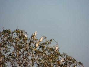 Galahs squawking...